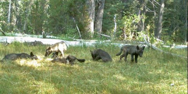 In this Aug. 9, 2015 still image from video released by the California Dept. of Fish and Wildlife shows evidence of five gray