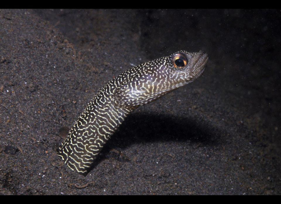 Potentially new species identified during a 2011 Marine Rapid Assessment Program survey in Bali. Heteroconger new garden eel