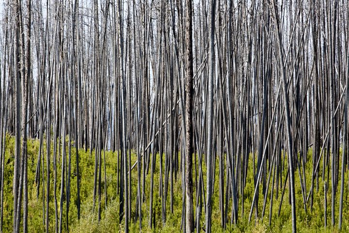 burnt  bare forest of lodgepole ...