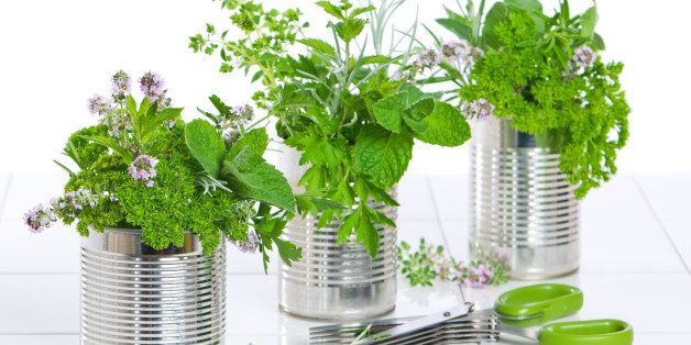 Fresh garden herbs in recycled tin cans on tiled worktop with scissors