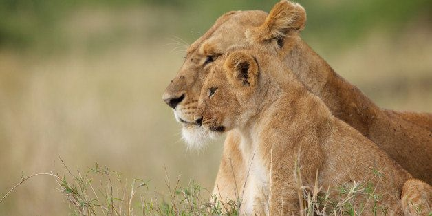 A wild lion cub sitting with its mother in Kenya
