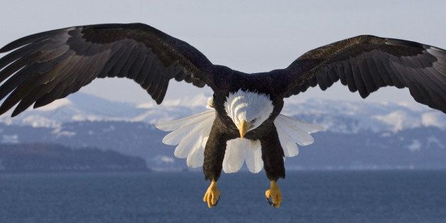The Bald Eagle (Haliaeetus leucocephalus) is a bird of prey found in North America. It is the national bird and symbol of the