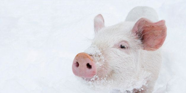 teenage pig in pen surrounded by new fallin snow