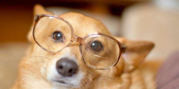 Corgi in nerd glasses