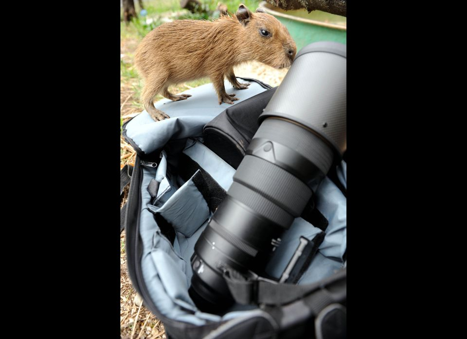 A capybara (Hidrochaerys) smells a photographic lens at the Santa Fe Zoo, in Medellin, Antioquia Department, Colombia, on Mar
