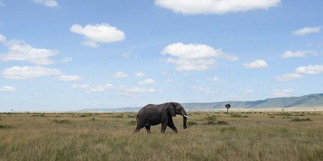 TALEK, KENYA - FEBRUARY 29: An elephant walks across the open plains of the Maasai Mara National Reserve on February 29, 2016