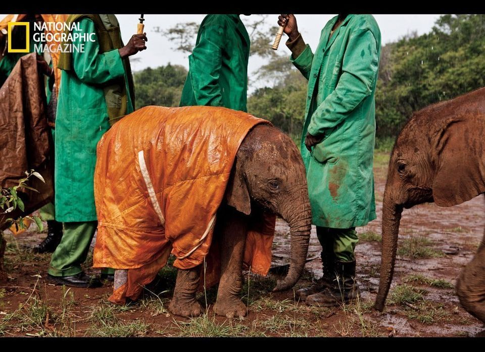 Dedicated keepers at the David Sheldrick Wildlife Trust's Nairobi Elephant Nursery in Kenya protect baby Shukuru from the col