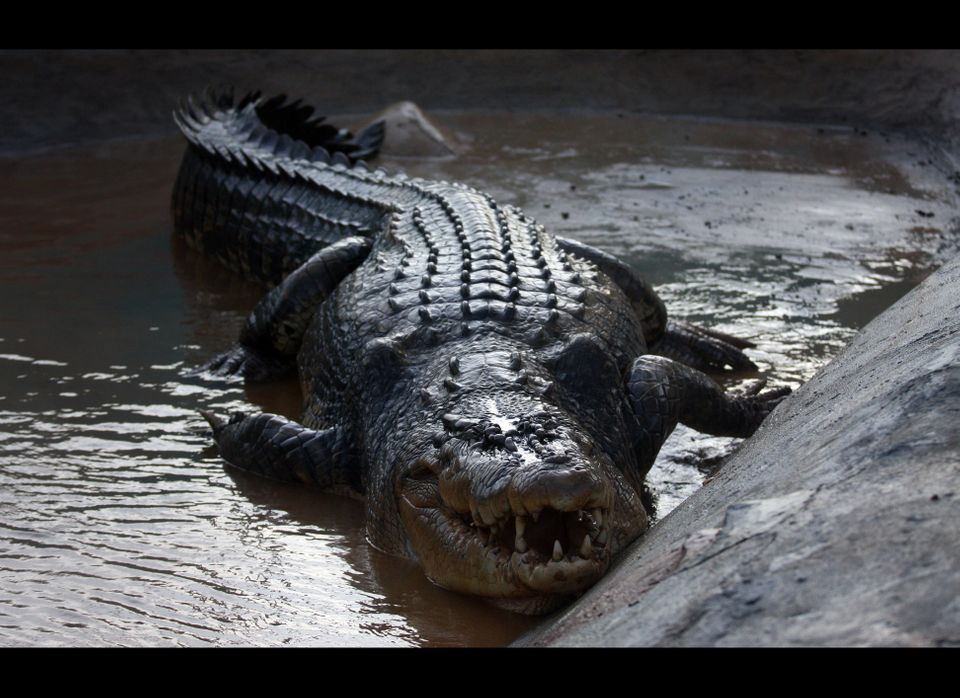 A 50-year-old 1,075-kilogramme (2,370-pound) saltwater crocodile is seen  inside a penned pond on September 13, 2011 in the s