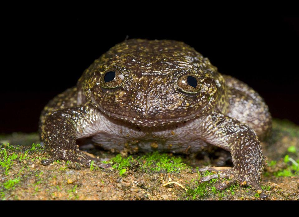 WAYANAD NIGHT FROG- Nyctibatrachus grandis  Prof. S. D. Biju