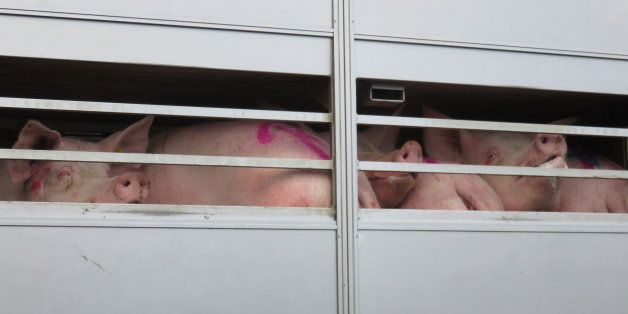 Pigs on a truck on their way to a slaughter house.