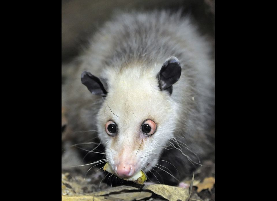 Germany's beloved cross-eyed opossum (didelphis) called Heidi, investigates her new enclosure in the giant tropical hall 'Gon