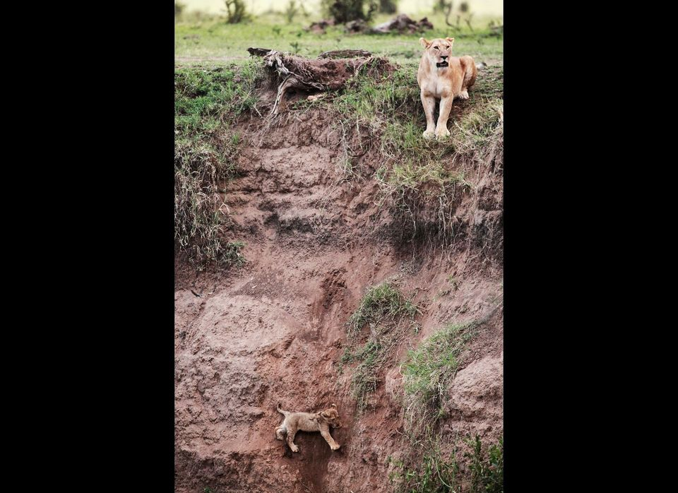"A lioness looks around after her cub fell into a ravine at the Masai Mara game reserve in Kenya. Source: <a href=""www.saxrohm"