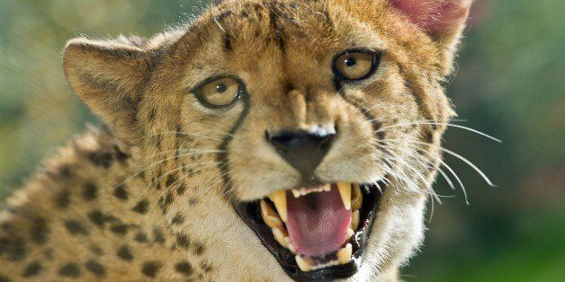 A cheetah is pictured on October 19, 2012 at the Opelzoo near Kronberg, western Germany. In the wild, cheetahs live in Africa