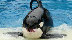 Warum die Zucht von Orcas so wichtig
