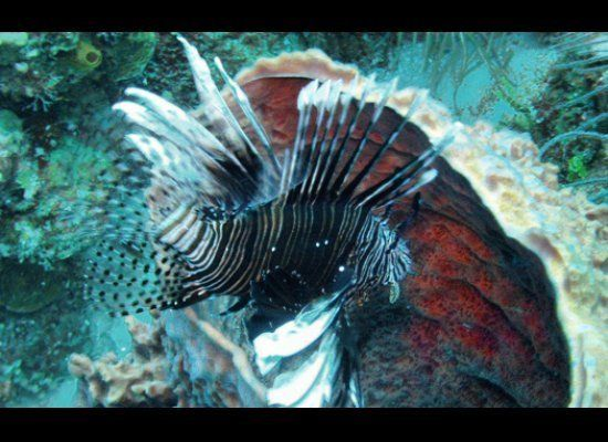 Adventurous travelers can combine diving with doing good by contributing to lionfish research off the coast of Belize. Volunt