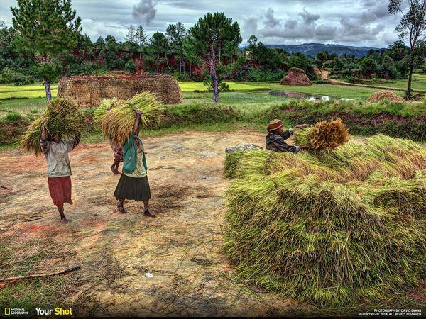마다가스카르의 추수. '굶주림'의 계절에 대비해 여성들이 벼를 베고 있다.