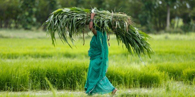 A farmer woman carries fodder on her head and walks past a paddy field at Phoolpur, about 40 kilometers east of Allahabad, in