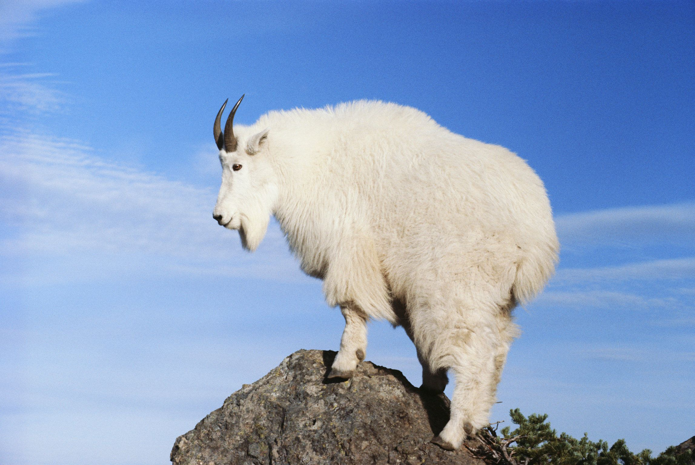 'Aggressive' Mountain Goats Are Thirsting For Human Pee And