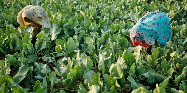 Indian women harvest plant leaves eaten as vegetables at a field on the outskirts of Allahabad, India, Thursday, Oct. 16, 201