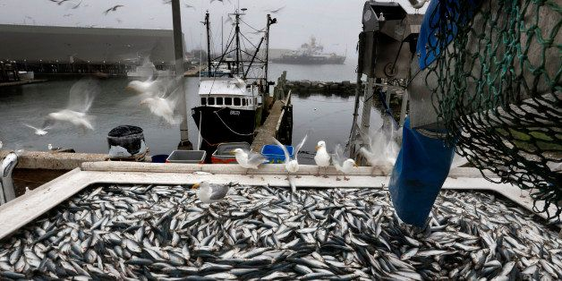 In this Wednesday, July 8, 2015 photo, herring are unloaded from a fishing boat in Rockland, Maine. New England fishermen are