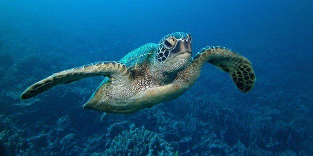 A green sea turtle glides above the coral of Honaunau Bay, Hawai'i