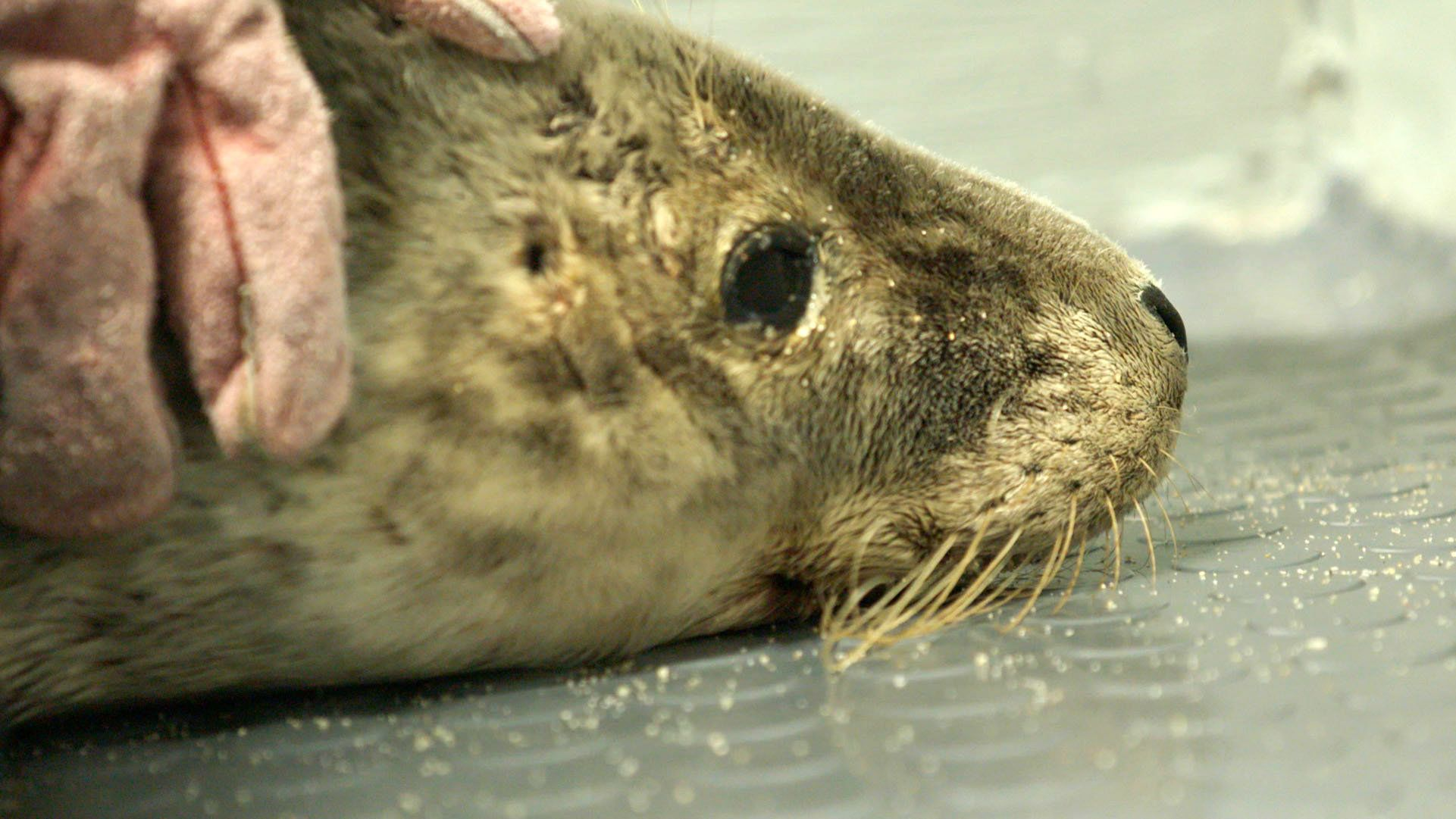 Baby seals often get netting caught round their neck which later strangles them when they grow