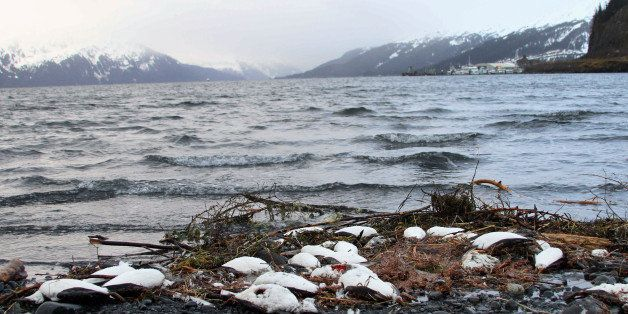 In this Thursday, Jan. 7, 2016 photo, dead common murres lie washed up on a rocky beach in Whittier, Alaska. Federal scientis