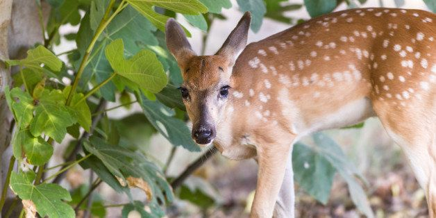 Closeup of White tail fawn eating fruit from fig tree in rural neighborhood.  Selective focus with soft background.