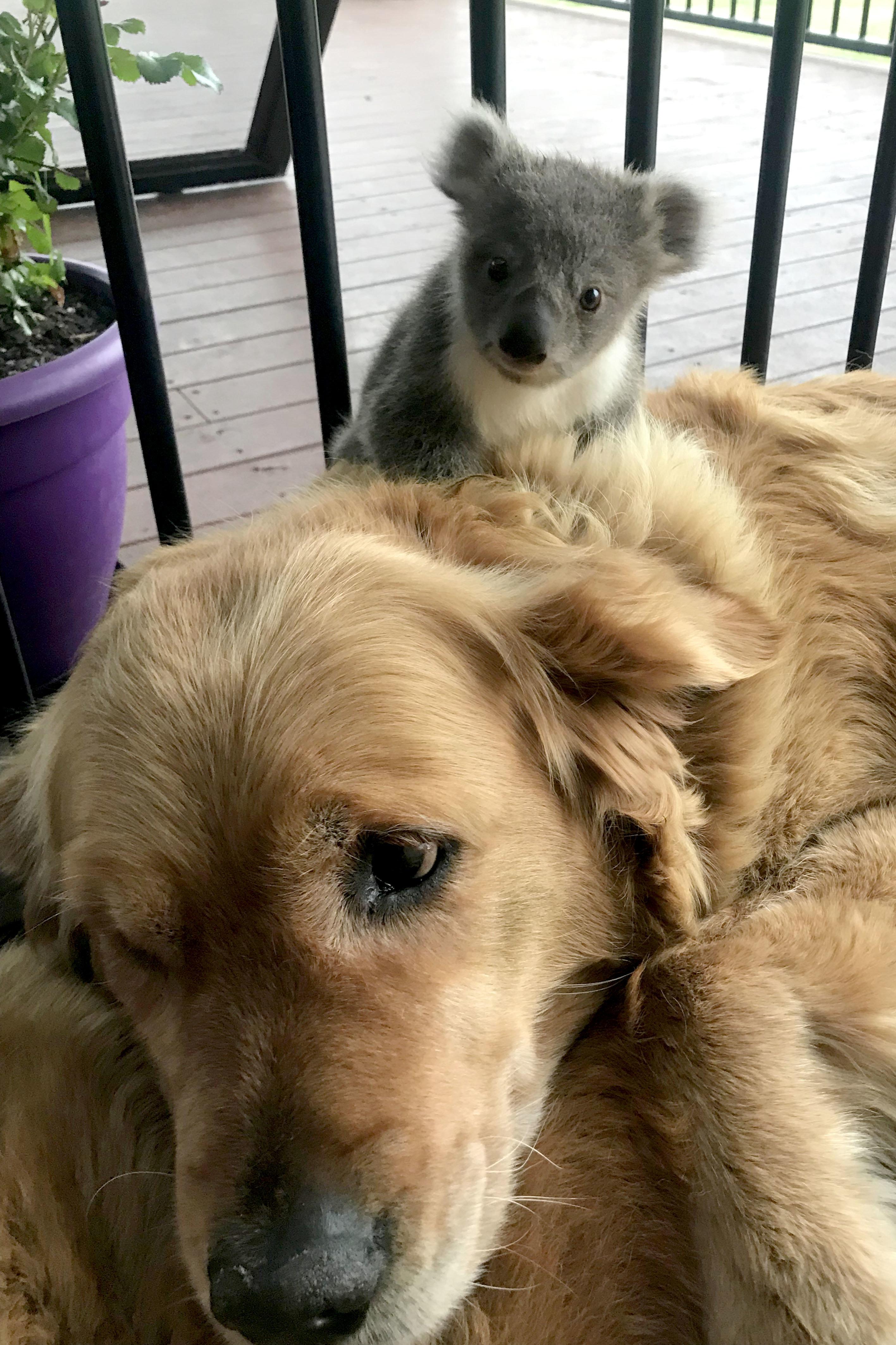Golden Retriever findet verlassenes Koala-Baby und rettet ihm das Leben