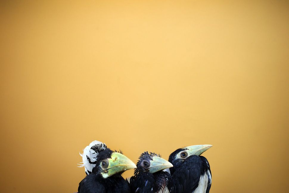 Three 2-month old Oriental Pied Hornbills are displayed at the Jurong Bird Park's Breeding and Research Center in Singapore,