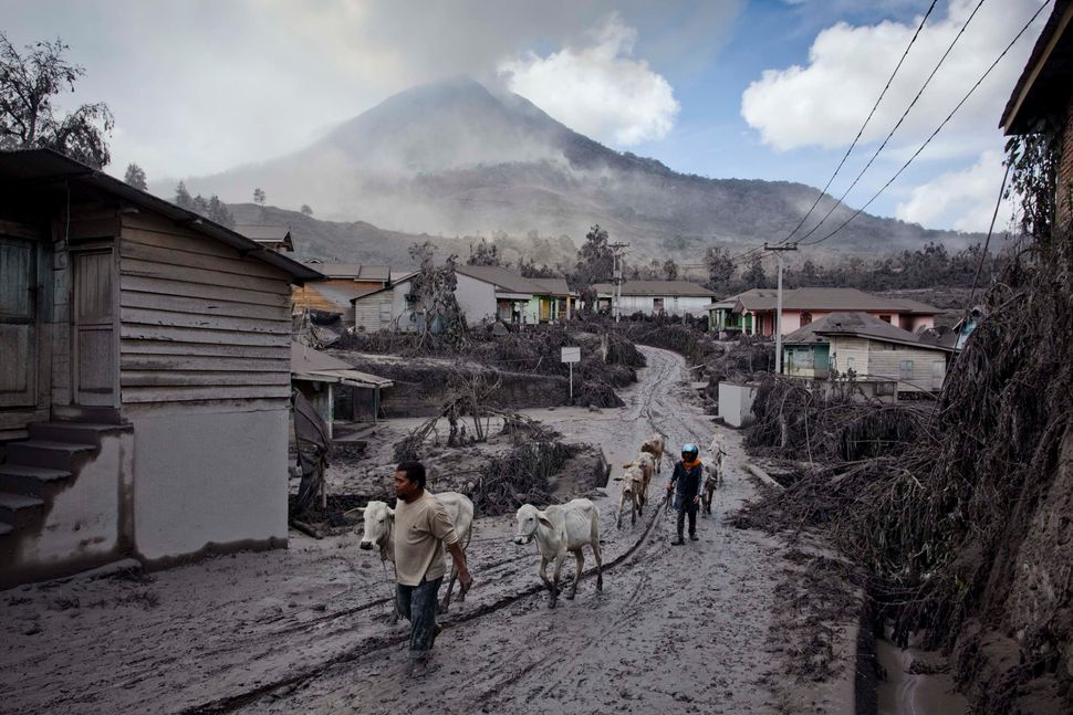Villagers evacuate their cows in an area covered by ash after their village hit by ash and mud from eruption of Mount Sinabun