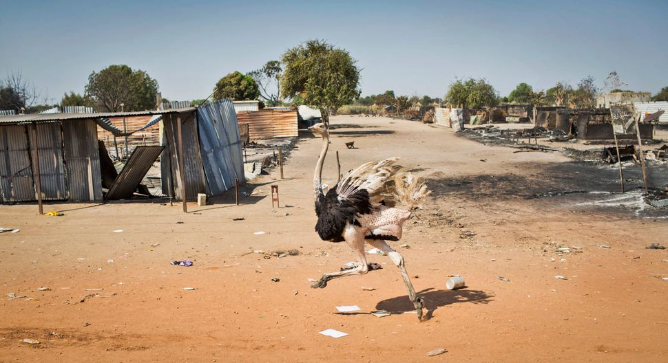 An ostrich runs through empty streets and past destroyed buildings, after government forces on Friday retook from rebel force