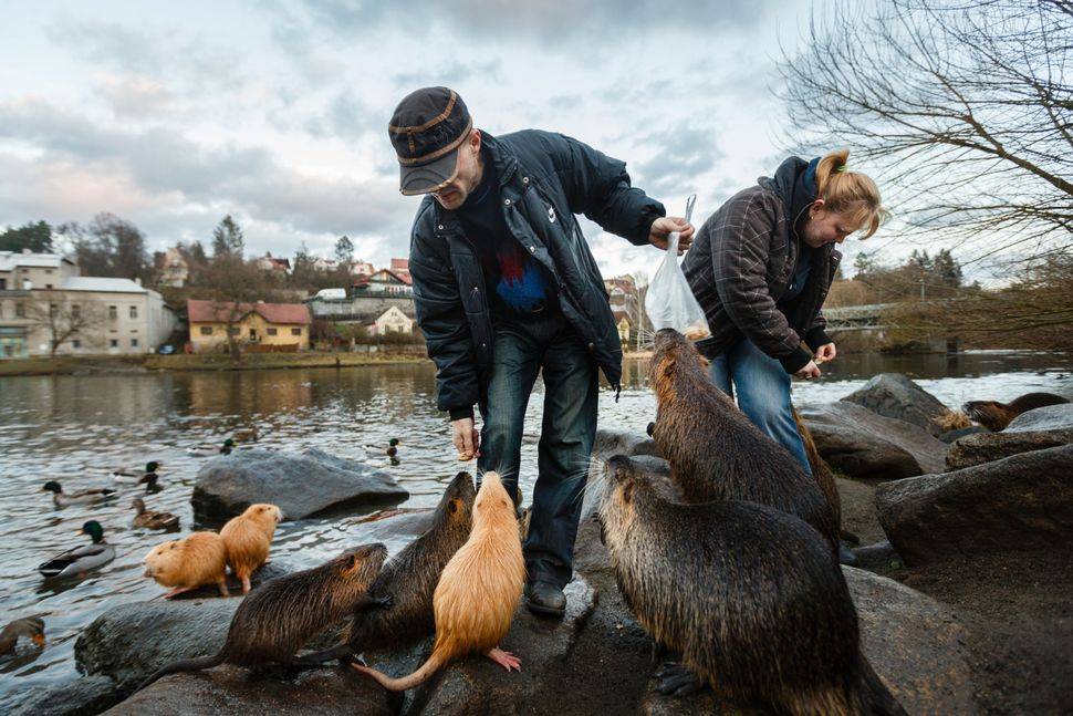 People feed wild nutria (Myocastor coypus or Coypu) in the middle of a village on January 8, 2014 in Kamenny Privoz, Czech Re