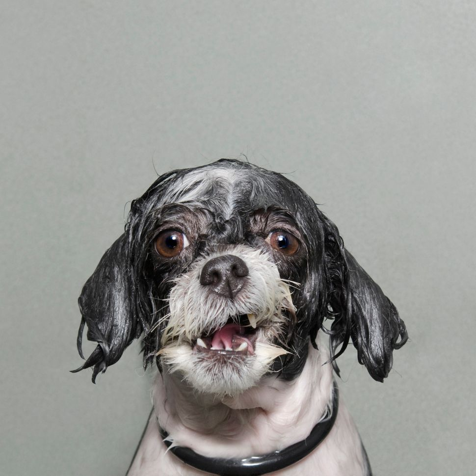 """<strong>United States - Finalist Portraiture Competition: </strong> """"Wet Dog is a series of portraits of dogs caught mid‐bath"""