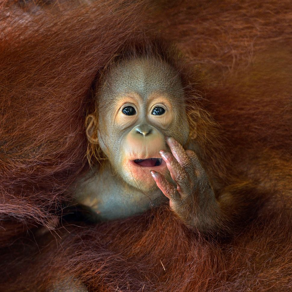 """<strong>Singapore - Shortlist Nature & Wildlife Open Competition: </strong> """"A baby Orangutan peeking out from his mother's e"""