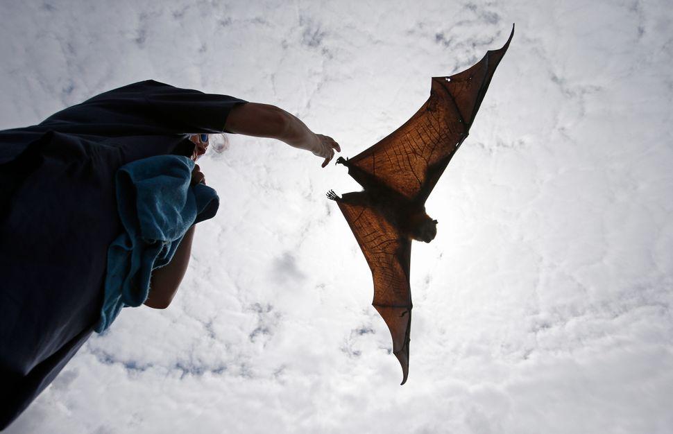 A wildlife carer releases a Grey Headed Flying Fox in Centennial Park in Sydney, Australia, Wednesday, Feb. 5, 2014. Each yea