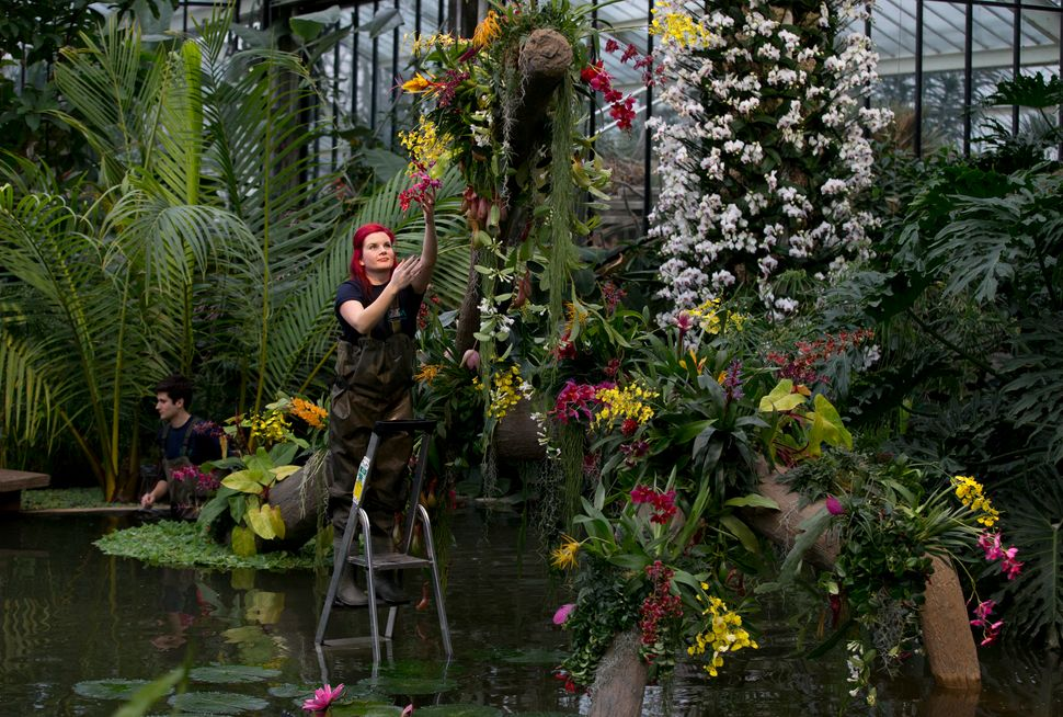 Ellie a horticulturist at Kew stands on a step ladder as she makes final adjustments during a media pre-view of an Orchid fes