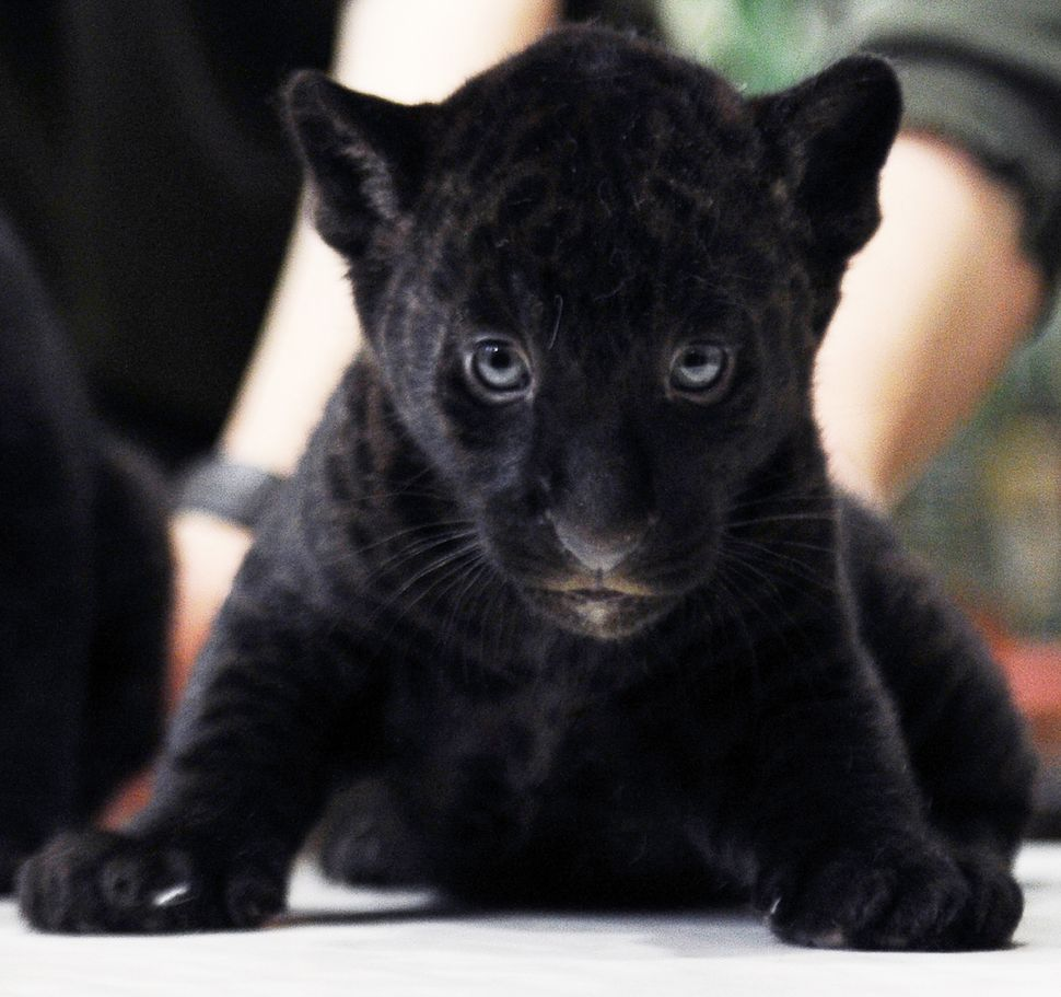 A two-month-old Black Panther cub looks on during a presentation in a zoo in St. Petersburg, on February 5, 2014. (Olga Malts