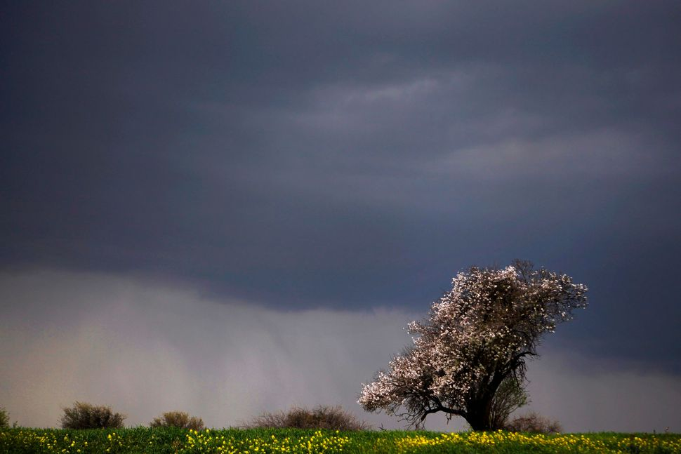 A prematurely blossoming almond tree is seen in a field near Krini village in the Turkish occupied area of the north part of
