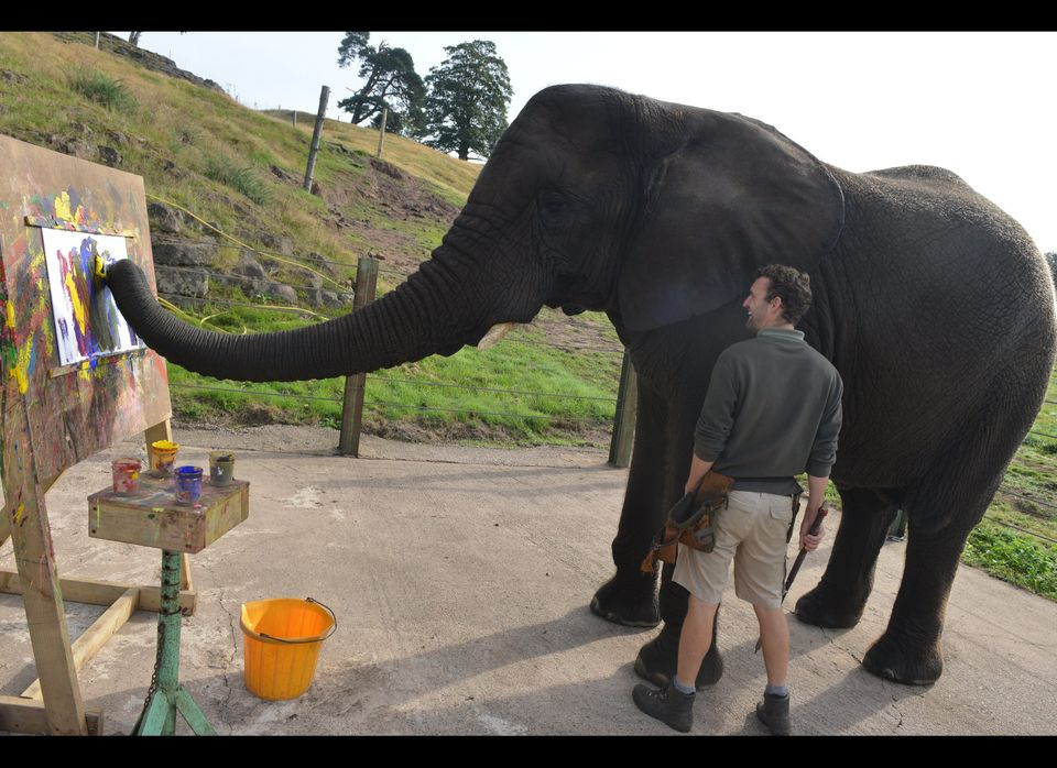 Five, the painting African elephant, pictured with keeper Lawrence Bates in her enclosure at West Midlands Safari Park, Bewdl