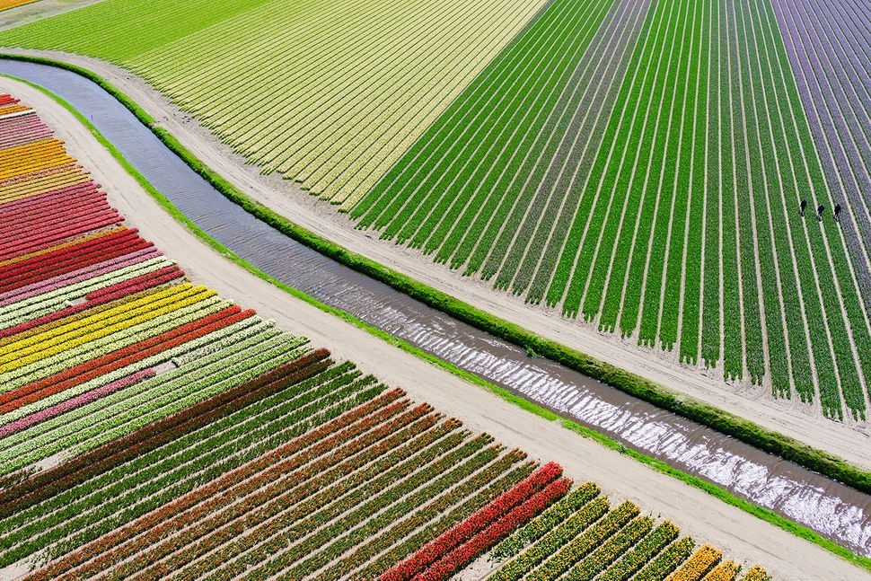 """Third prize in """"places"""": Tulip Fields in the Netherlands"""