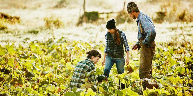 Three farmers harvesting organic squash in field on fall morning