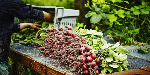 Farmer unloading bin of organic radishes on screened workbench for washing