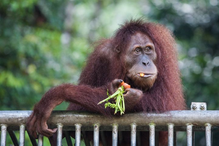 In this photograph taken on March 23, 2013 an endangered orangutan is fed at a conservation centre located in the forest of J