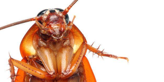 close up of a death cockroach...