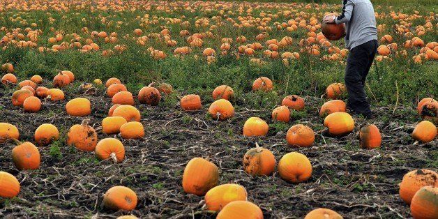 A man collects pumpkins at a farm in Lydiate, near Liverpool, north-west England on October, 14, 2014, as they are prepared f