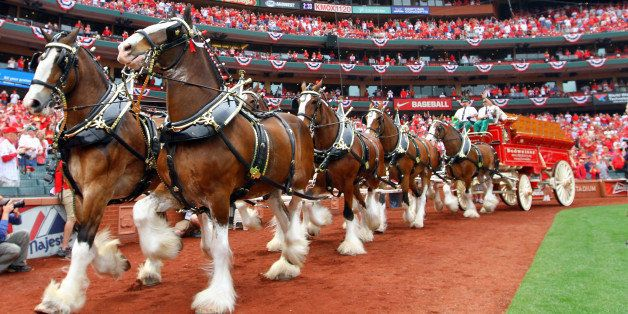 ST. LOUIS, MO - APRIL 08:  The Budweiser Clydesdales trot around the warning track during the pregame ceremony for Opening Da