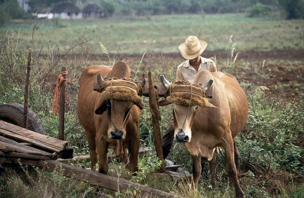 1994 - Farmer with an ox team in the Vinales Valley, Cuba. Cuban farming has struggled in recent years due to the lack of ava