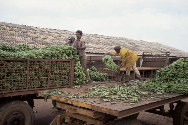 1994 - Farm workers loading bananas.
