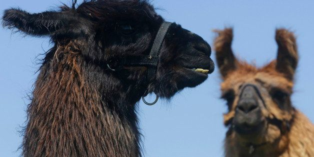 Llamas greet the media during a press preview at the Illinois State Fairgrounds, Tuesday, April 22, 2014, in Springfield, Ill